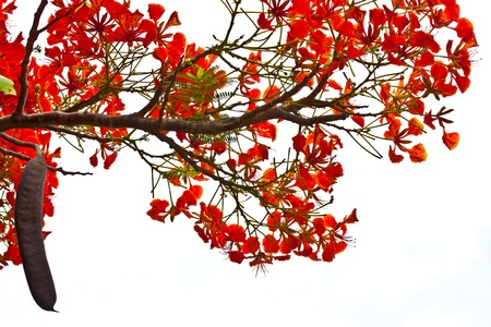 flamboyant: peacock flowers on poinciana tree  Isolated on white Stock Photo