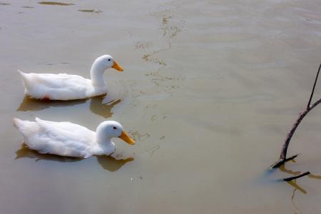 white ducks is pet Stock Photo - 15359270