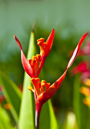bracts: beautiful Heliconia flower blooming in vivid colors