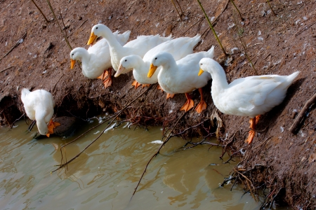 white ducks is pet in farm Stock Photo - 15750012