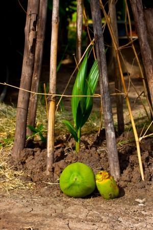 implantation: coconuts of implantation