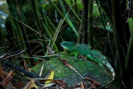 lguana in forest photo