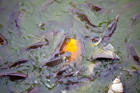 frozen fish: freshwater fish