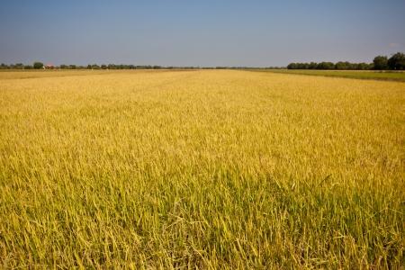 rice fields in thailand