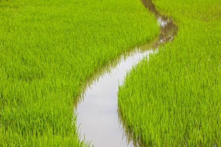 cornfield: cornfield of background