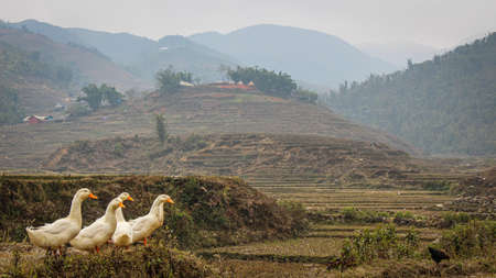 A group or raft of white pecking ducks standing at the edge of a rice terrace in winter on a misty day, Sapa, Northern Vietnam.