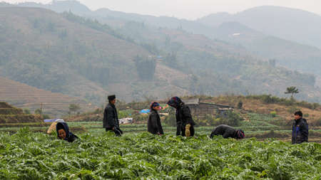 Sapa, Vietnam - January 16th 2014: Members of a Hmong hill tribe working in a crop plantation in the rice terraces