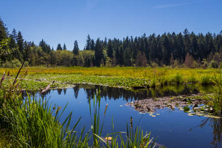 Reflection of a woodland on Beaver Lake in summer in Stanley Park, Vancouver, British Columbia, Canada