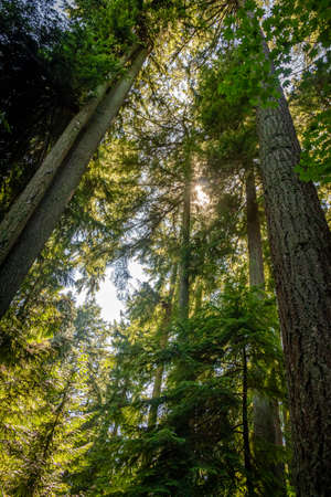 Light shining through the forest canopy of evergreen conifer trees in summer, Stanley Park, Vancouver, British Columbia, Canada