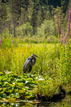 A heron fishing at Beaver Lake, Stanley Park, Vancouver, British Columbia, Canada Banque d'images