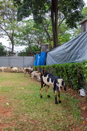 Goats tied up in an indonesia compound before being slaughtered or sacrificed for the eid al-adha islamic hoiday Stock Photo