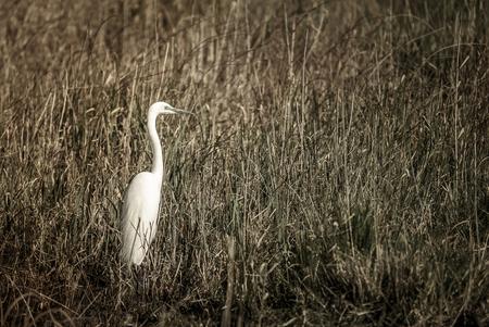 great: Great egret
