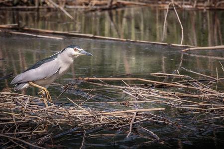 grey eyed: Night heron