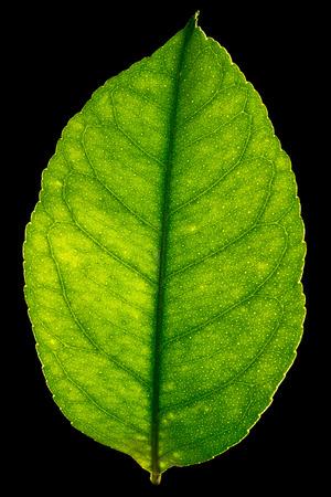 Backlit leaf from a lemon tree.