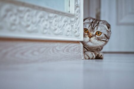 Curious Scottish Fold Cat looking around the corner of a wall