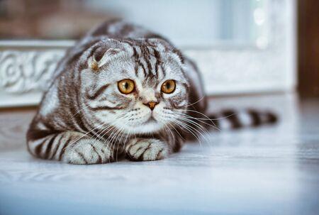 Grey cat lying on the floor Stock Photo