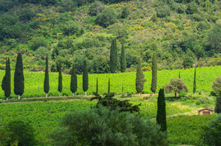 Cypresses trees, green field with sun light. Tuscany, Italy