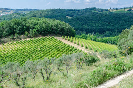 Grape and olive fields. Agriculture in Italy, Tuscany.