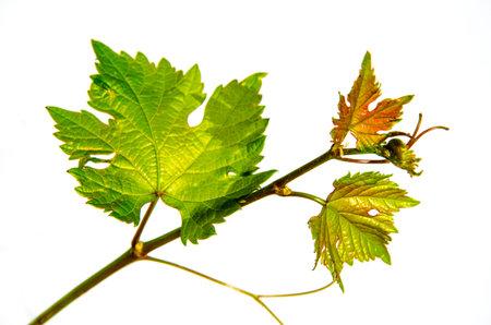 Close up fresh Green grape leaves isolated on white background Reklamní fotografie