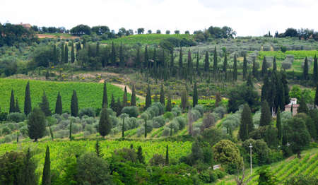 Cypresses, grape fields and olive trees in Tuscany region in Italy 스톡 콘텐츠