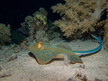 spotted ray: Blue spotted ray in Red sea Stock Photo