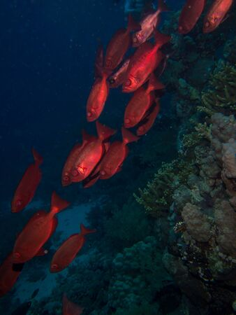 red fish: Some red fish in Red sea