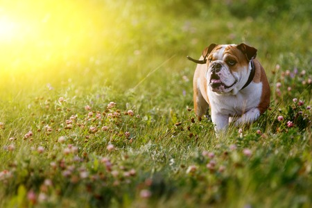 small dog: Beautiful brown-and-white bulldog walking on summer day in the meadow. Image with lens flare effect Stock Photo