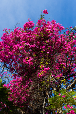 Flowering rosewood background of sky