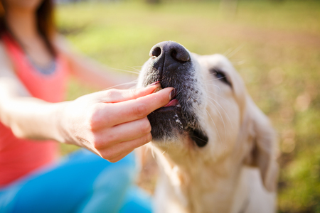 Woman giving treat labrador dog