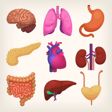 heart organ: Set of colorful realistic human body organs Illustration