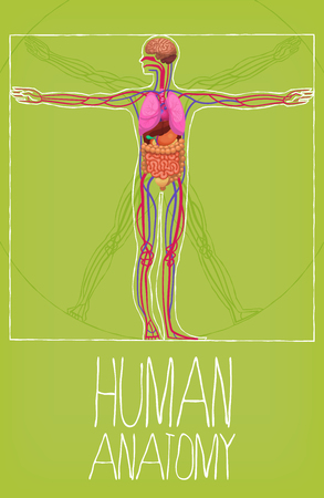 Human body organs poster. Vetruvian man proportions and display of organ positions in human body. Human anatomy poster.