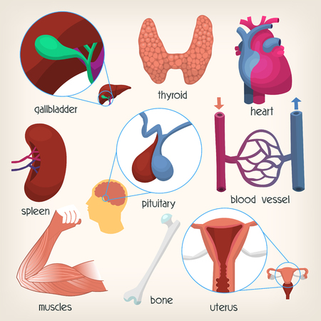 Human body organs. Part 2