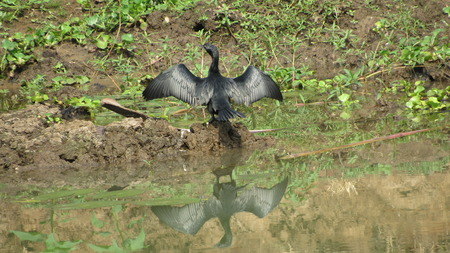Diver bird drying its wings reflection on water
