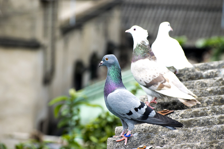 bird pigeon sitting standing on roof green blue bar racer homing game pet Stock Photo