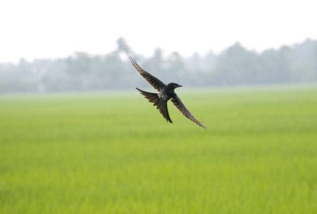 bird flying black drongo with spread wings in air over green rice field in the air free hunting catching insects in rural area village