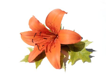 Orange lilly flowers and green leaves on white background