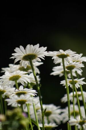 Bright white daisy flowers on black background Stock Photo - 1366312