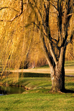 Willow tree branches over the stream in michigan