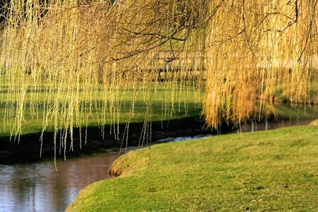 weeping: Willow tree branches over the stream in michigan
