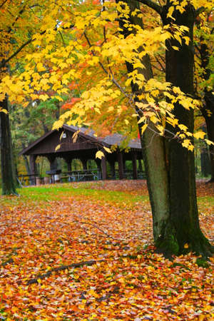 Maple tree with yellow color leaves during autumn time
