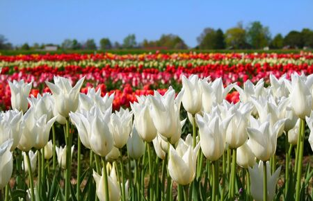 blue tulip: Field of colourful tulip garden in holland michigan