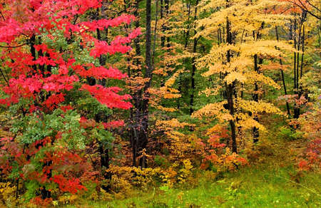 Autumn trees in a brilliant colors shot in Michigan upper peninsula Haiwatha state forest photo