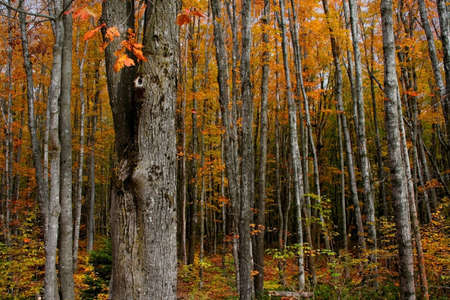 Tall colorful trees during autumn time in Michigan photo