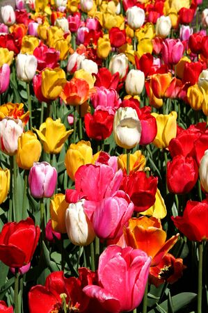 sylvan: Colourful tulips in the park Stock Photo