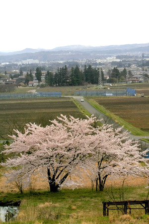 Cherry blossom trees at Japan's rural area 스톡 콘텐츠