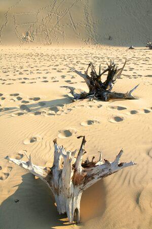 arboles secos: �rboles e impresiones muertos del pie en el desierto Foto de archivo