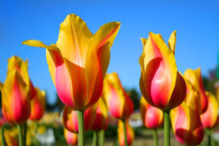 Yellow & Pink shaded Tulips with blue background photo