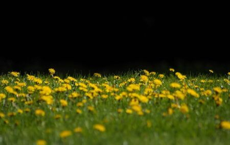 Field of blooming yellow dandelions-flowers in the grass Фото со стока