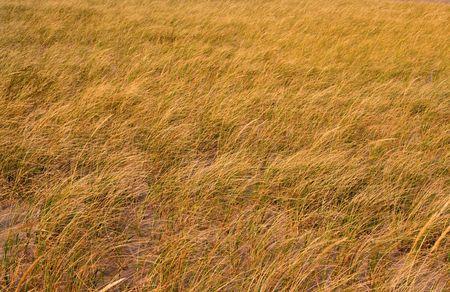 Grass background shot in dry grass lands 版權商用圖片