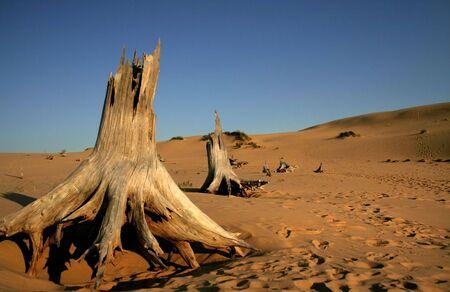 arboles secos: Los �rboles muertos en el Desierto